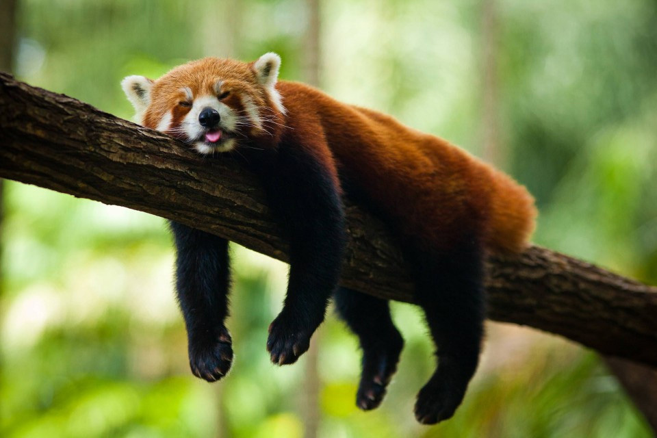 Adaptations - Help The Red Pandas